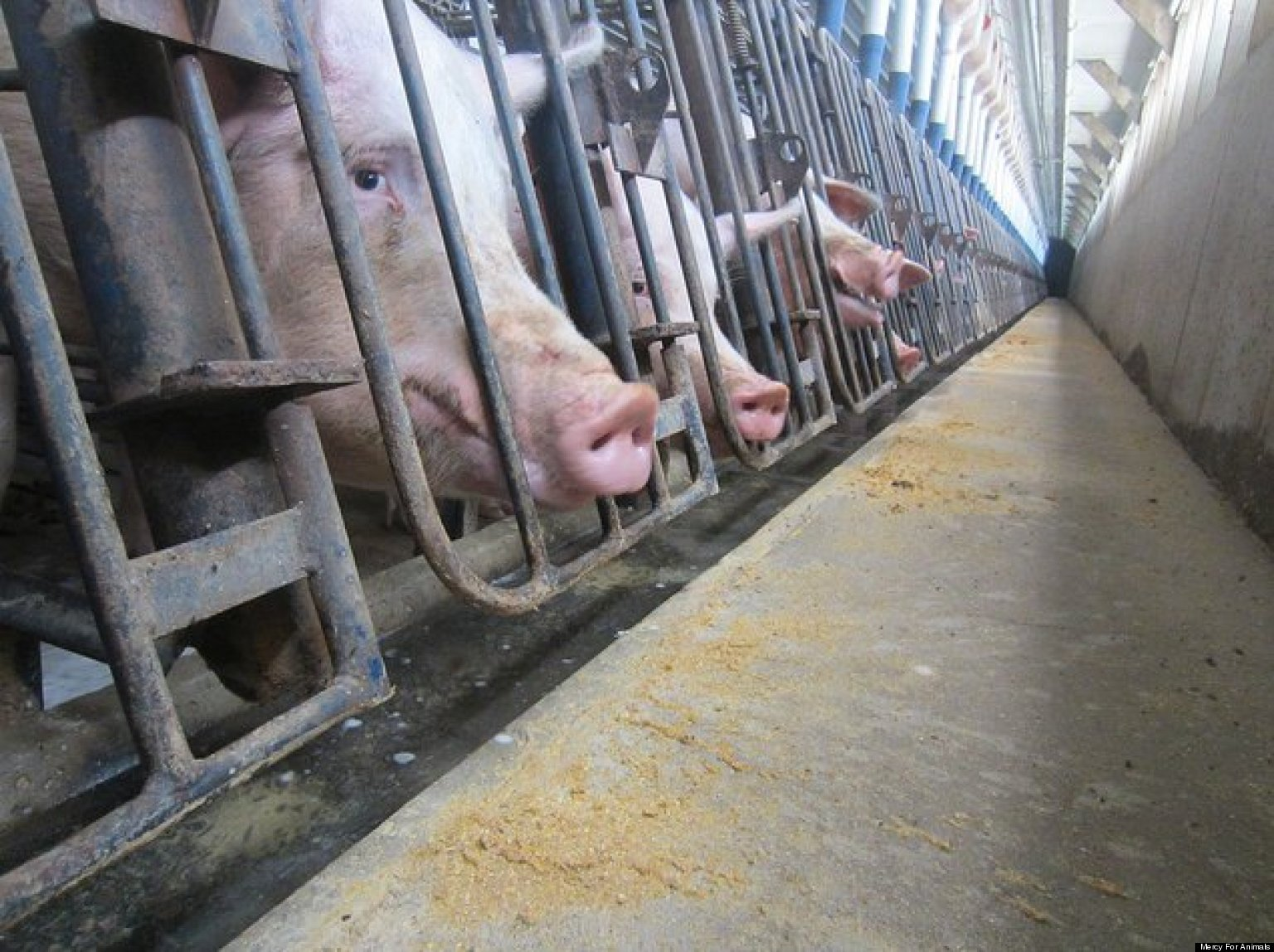 Factory Farming: Misery for Animals
