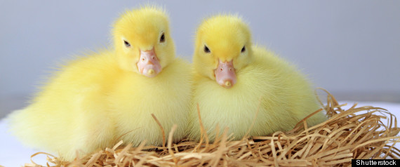 DUCKLINGS EASTER