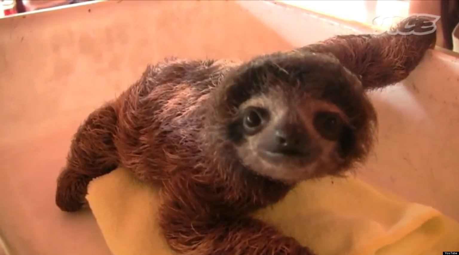 Baby Sloths: How Much Cute Can You Handle?! (VIDEO ...