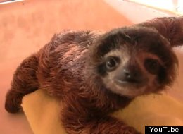 WATCH: Cute Baby Sloths. That Is All.