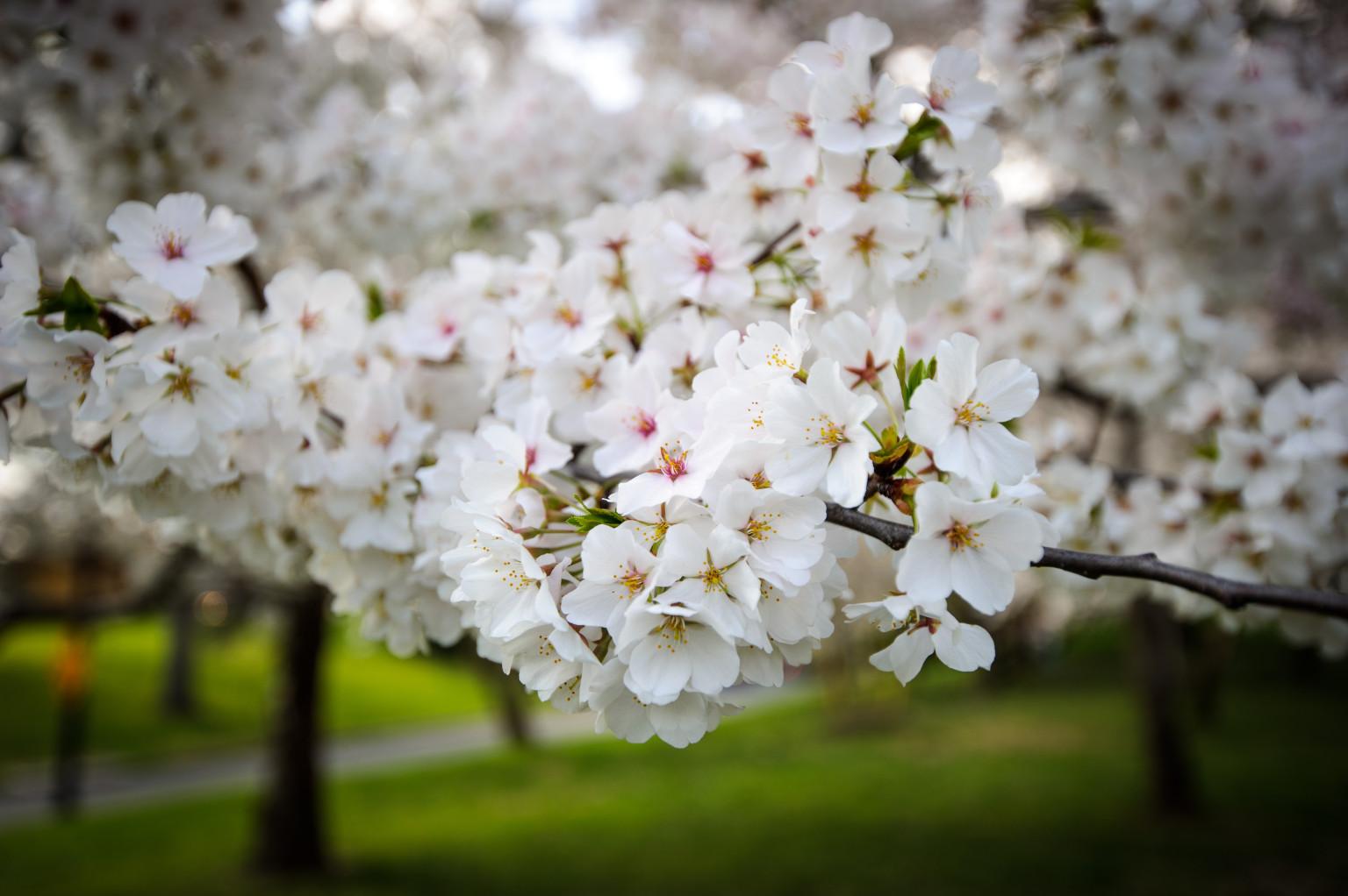 A Short History Of Washington's Cherry Trees | HuffPost