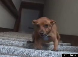 WATCH: Dachshund Vs Stairs