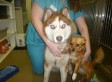 Blind Dog With A Seeing-Eye Dog: Blind Husky, Isaac, Needs His Guiding Chihuahua, Isabella (VIDEO)