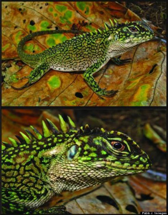 peru lizard species