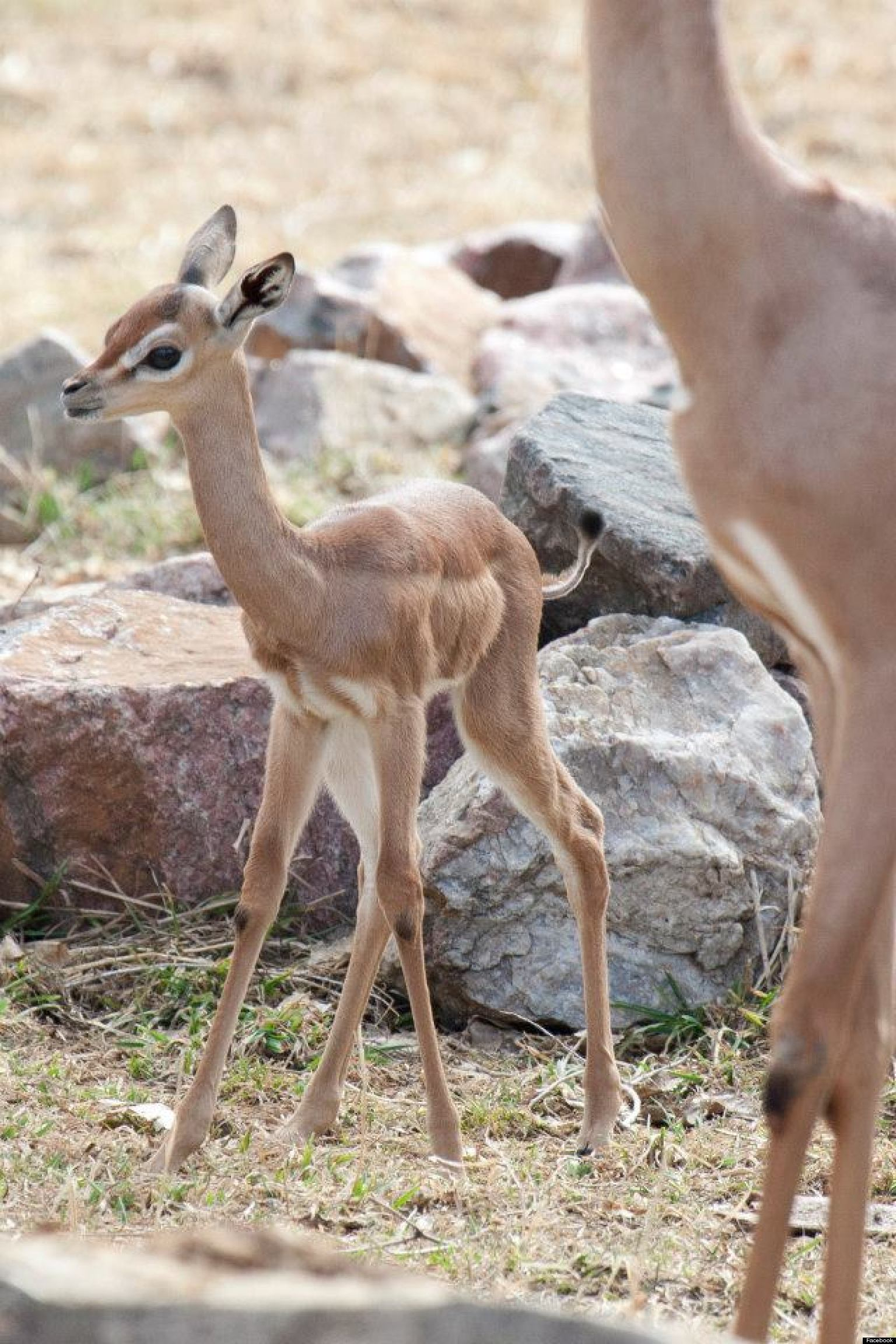 Denver Zoo Gets Its First Baby Gerenuk Named Blossom