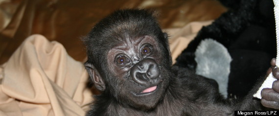 LINCOLN PARK ZOO BABY GORILLA RECOVERING