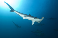 Hammerhead shark | Pic: Getty