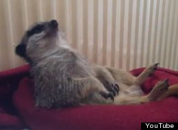 WATCH: Meerkat Struggles To Stay Awake