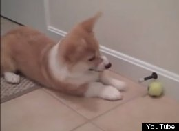 WATCH: Corgi Vs Doorstop