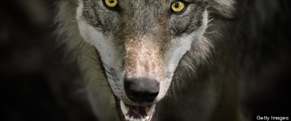 LAWMAKERS GRAY WOLF ENDANGERED SPECIES LIST