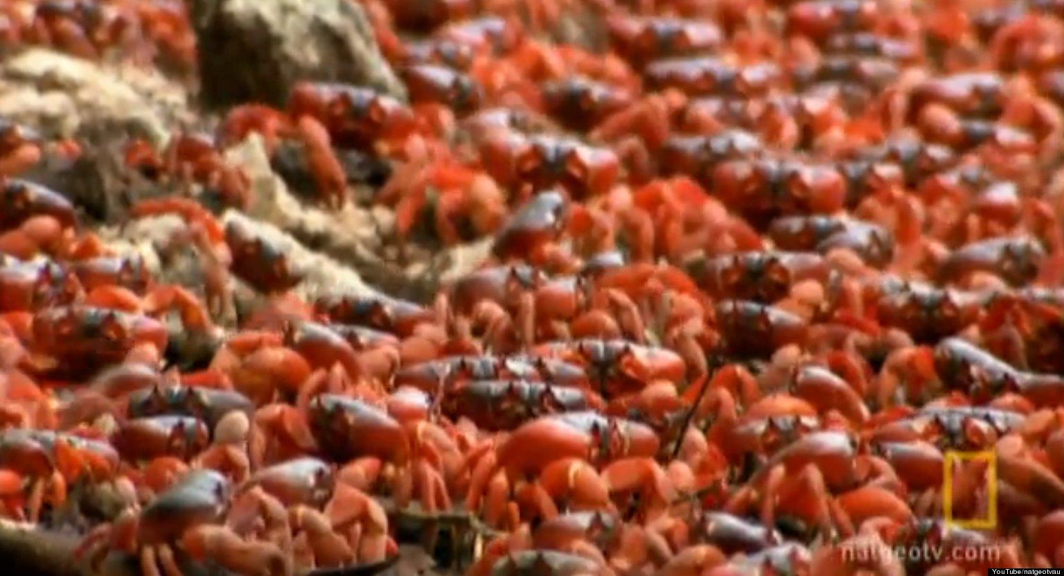 Red Crabs Swarm Island: Christmas Island Crab Migration ...