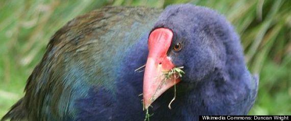 PACIFIC BIRDS EXTINCTION