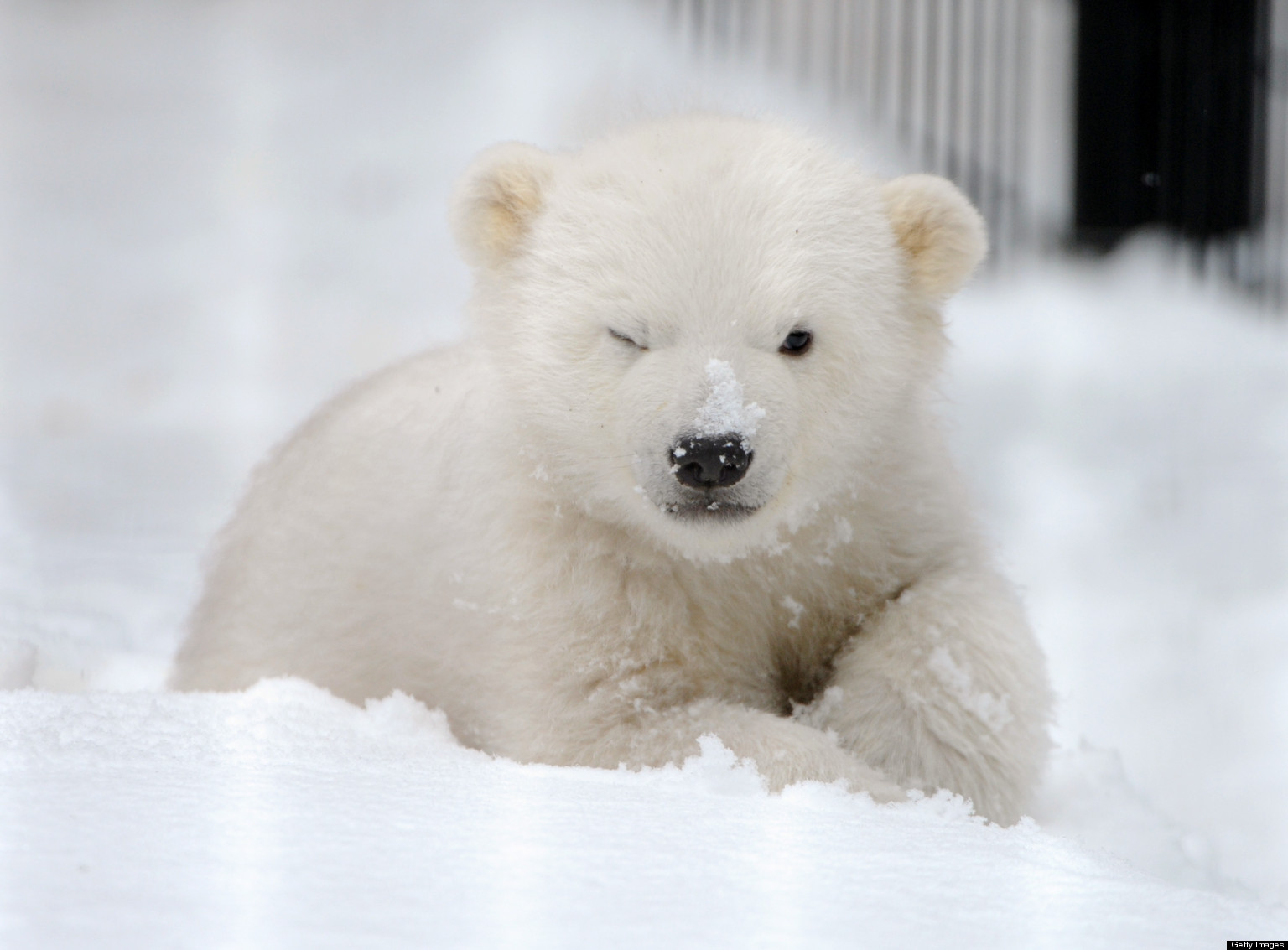 Kali The Orphaned Polar Bear Cub To Move From Alaska Zoo
