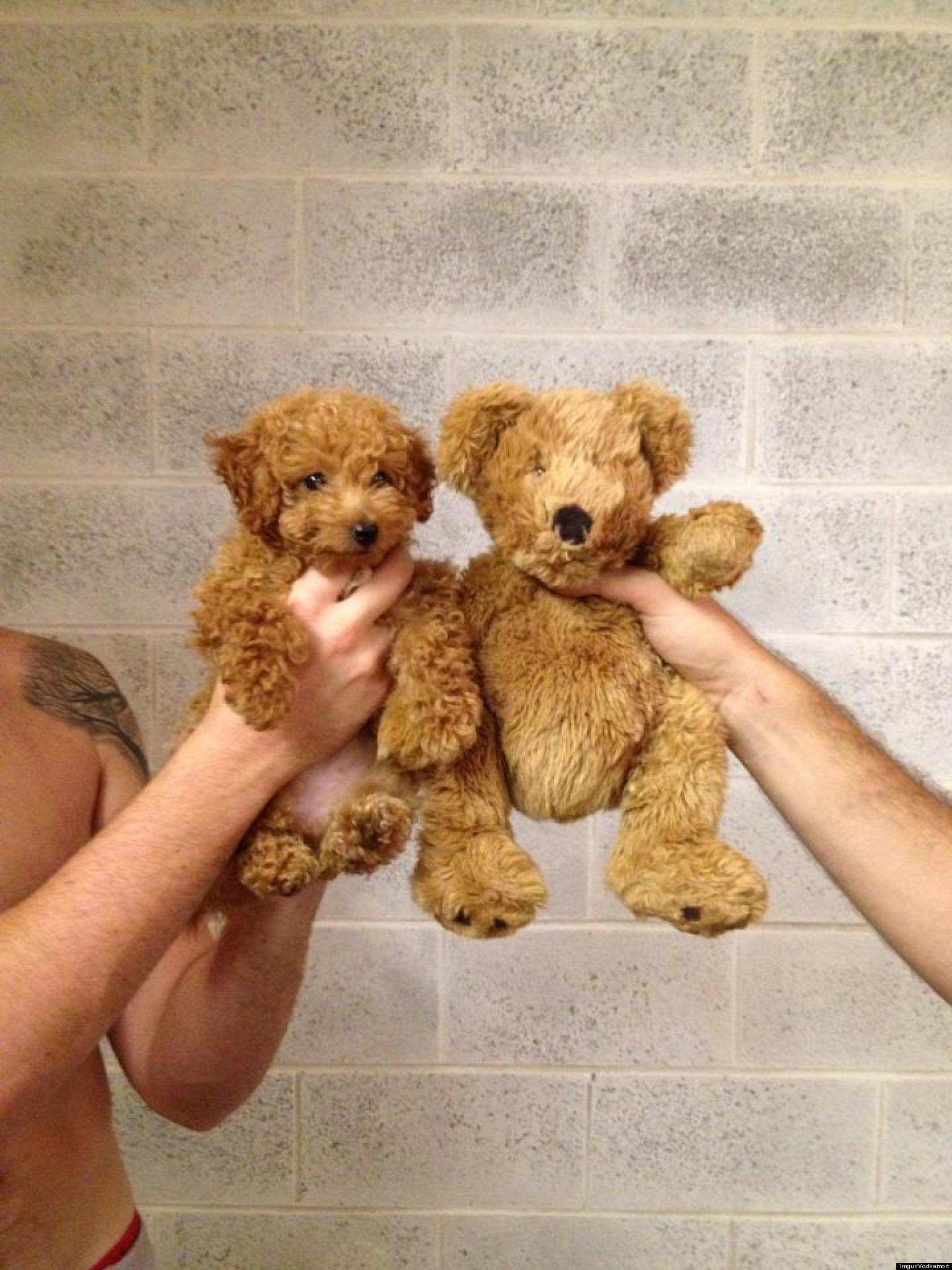Toy Poodle Looks Just Like A Teddy Bear (PHOTO)