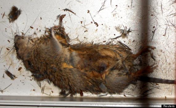 fukushima rat