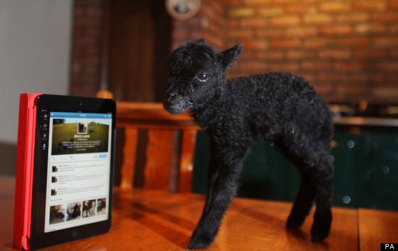 micro lamb