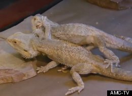 WATCH: Man Of Two Minds About Surgically Separating His Conjoined Twin Lizards