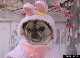 WATCH: Just A Pug. In An Easter Bunny Outfit .