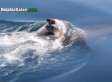 Mother Dolphin Carries Her Dead Calf On Dorsal Fin (VIDEO)