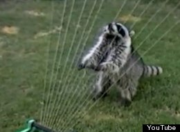 WATCH: Raccoon Plays The Harp