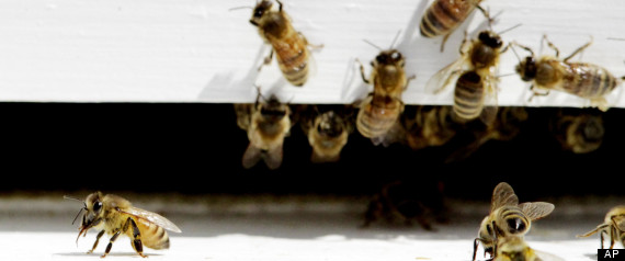 HONEYBEES DYING PESTICIDE