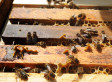 Bee Deaths From Colony Collapse Disorder On The Rise As Researchers Point To Pesticides