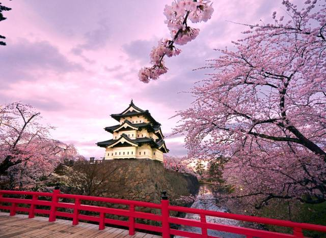 cherry blossom tree japan