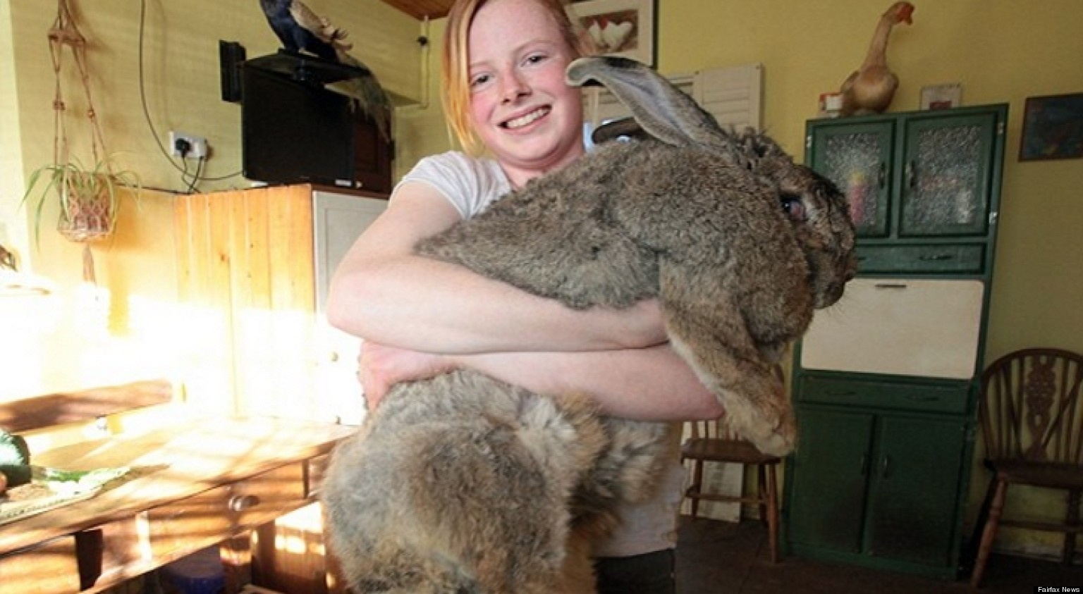 ralph worlds largest bunny rabbit weighs 55 pounds and eats 90 of food a week photo huffpost