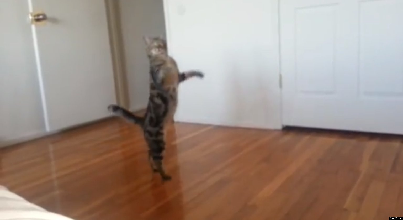 Just A Cat  Walking On Its Walking Cat Gif Funny