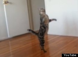 Business Legs Walking S-cat-hind-legs-large jpg 6Cat Walking On Hind Legs