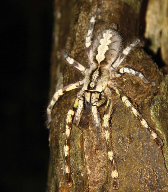 giant tarantula discovered