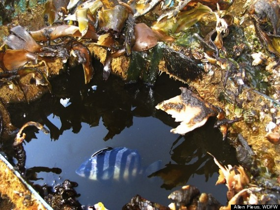 fish japan tsunami debris