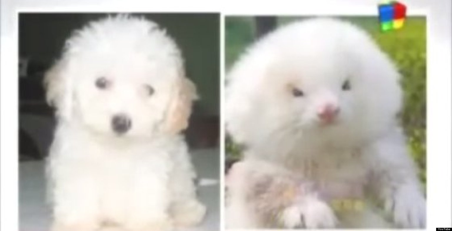 Man Buys Toy Poodles, Discovers They're GIANT RODENTS