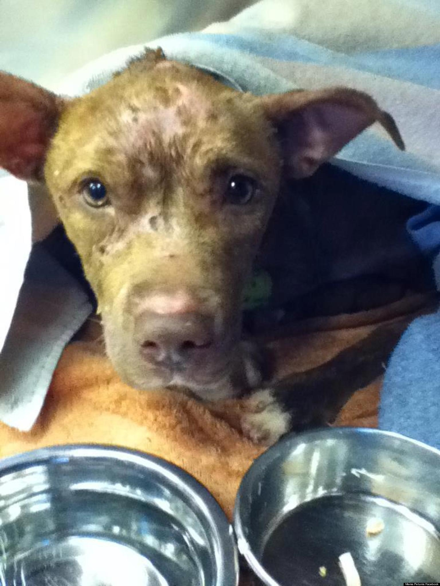Pregnant Pit Bull Dies: Dubbed 'The Face Of Animal Cruelty