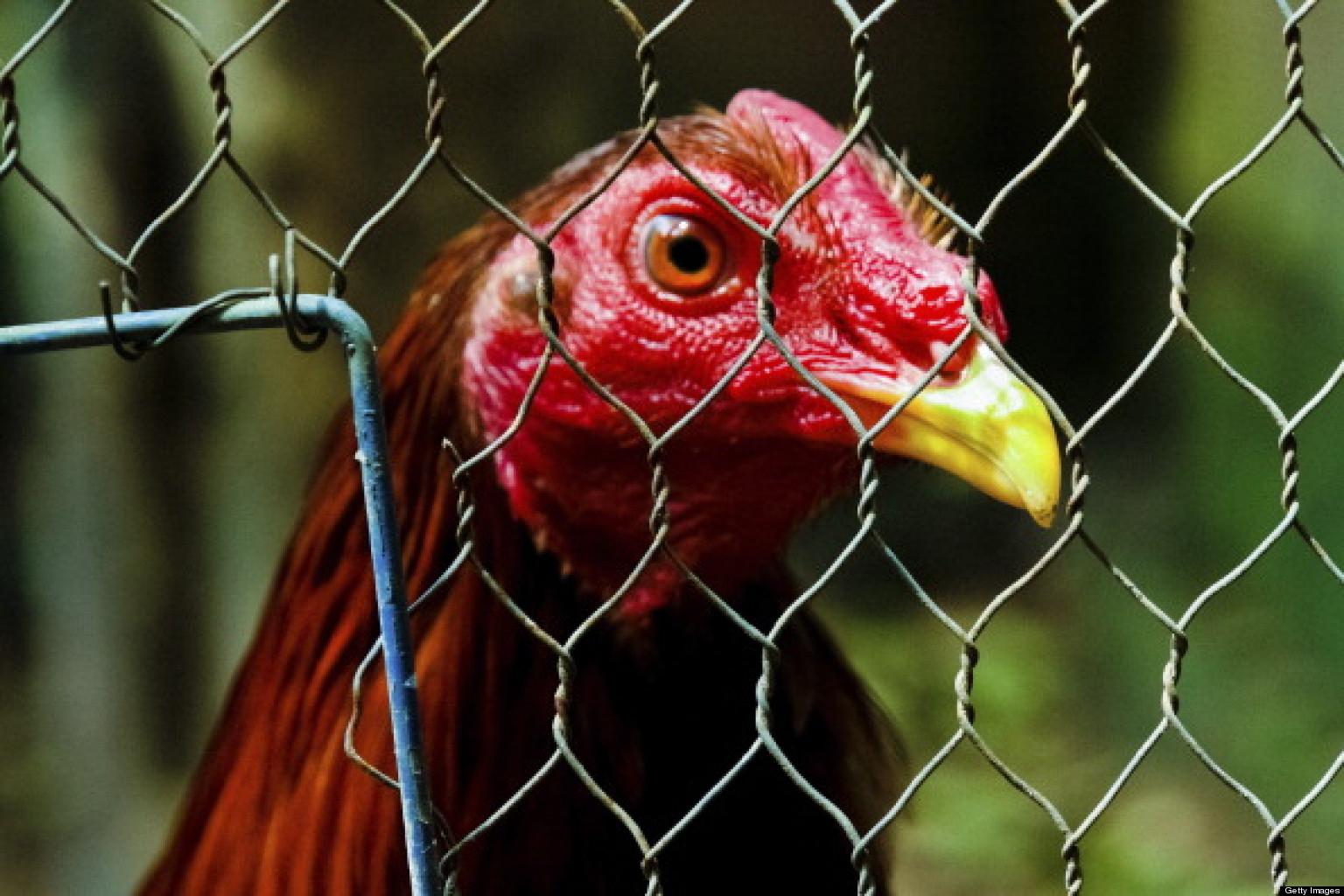 illeagle cock fighting