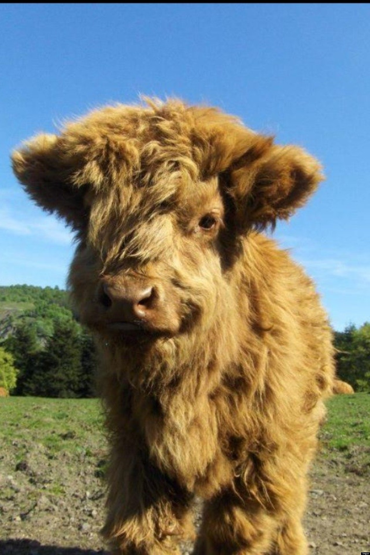 Baby highland cow - photo#4