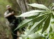 Marijuana Eradication By Law Enforcement Plummets Over 60 Percent