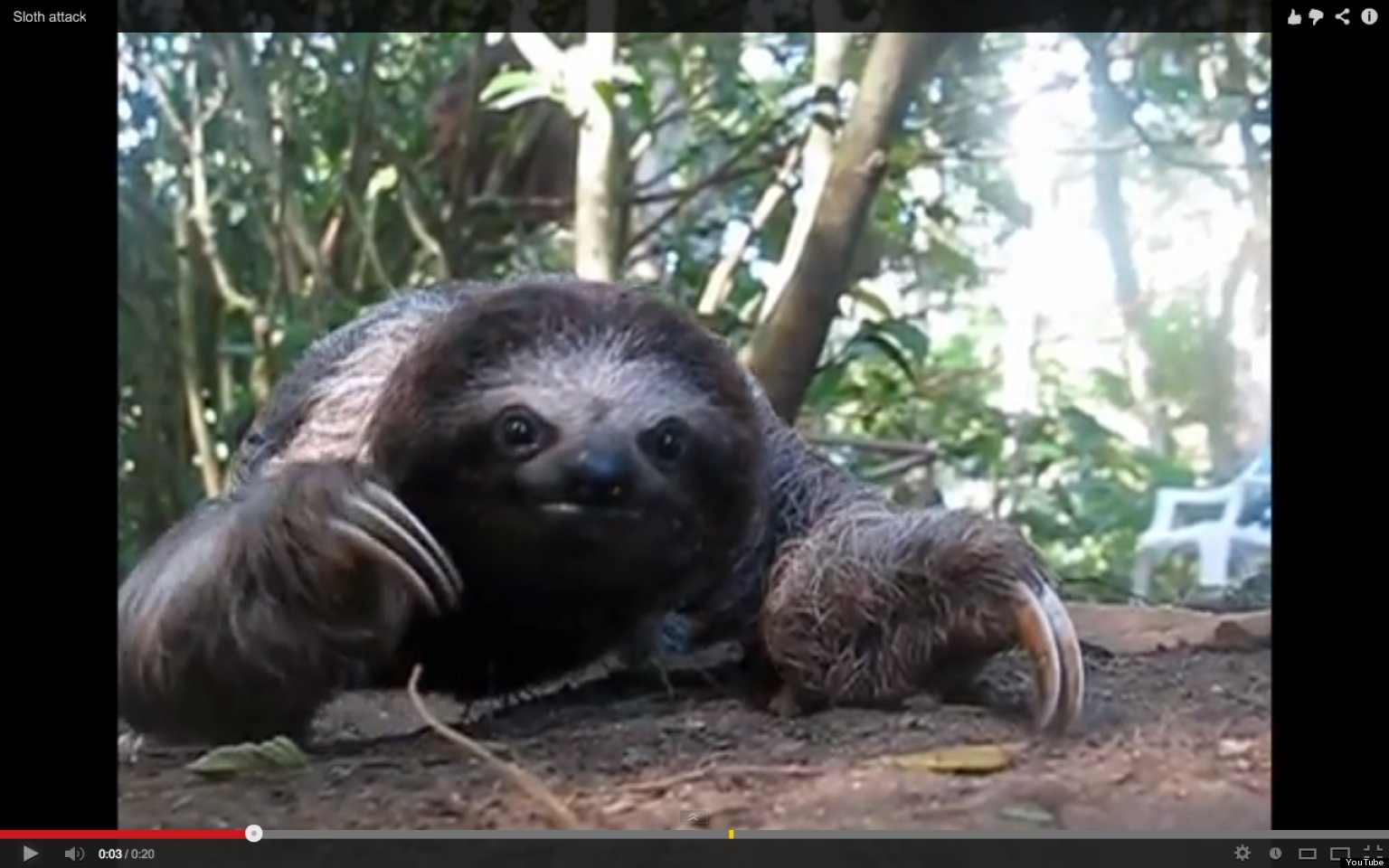 sloth  u0026 39 attack u0026 39  video will be happiest 20 seconds of your day  guaranteed