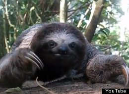 Sloths: Pictures, Videos, Breaking News