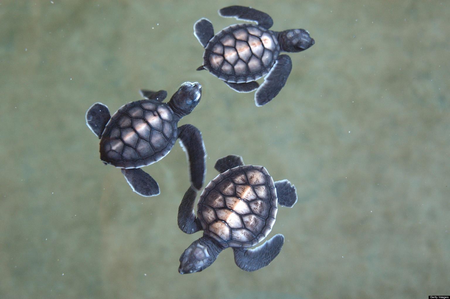 Baby Green Sea Turtles - photo#46