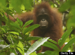 Some Terrific News For Orangutans