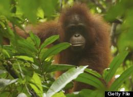 Some Terrific News For Orangutans