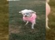 Rescued Puppy Mill Dog, Lizzy, Walks On Grass For The First Time (VIDEO)