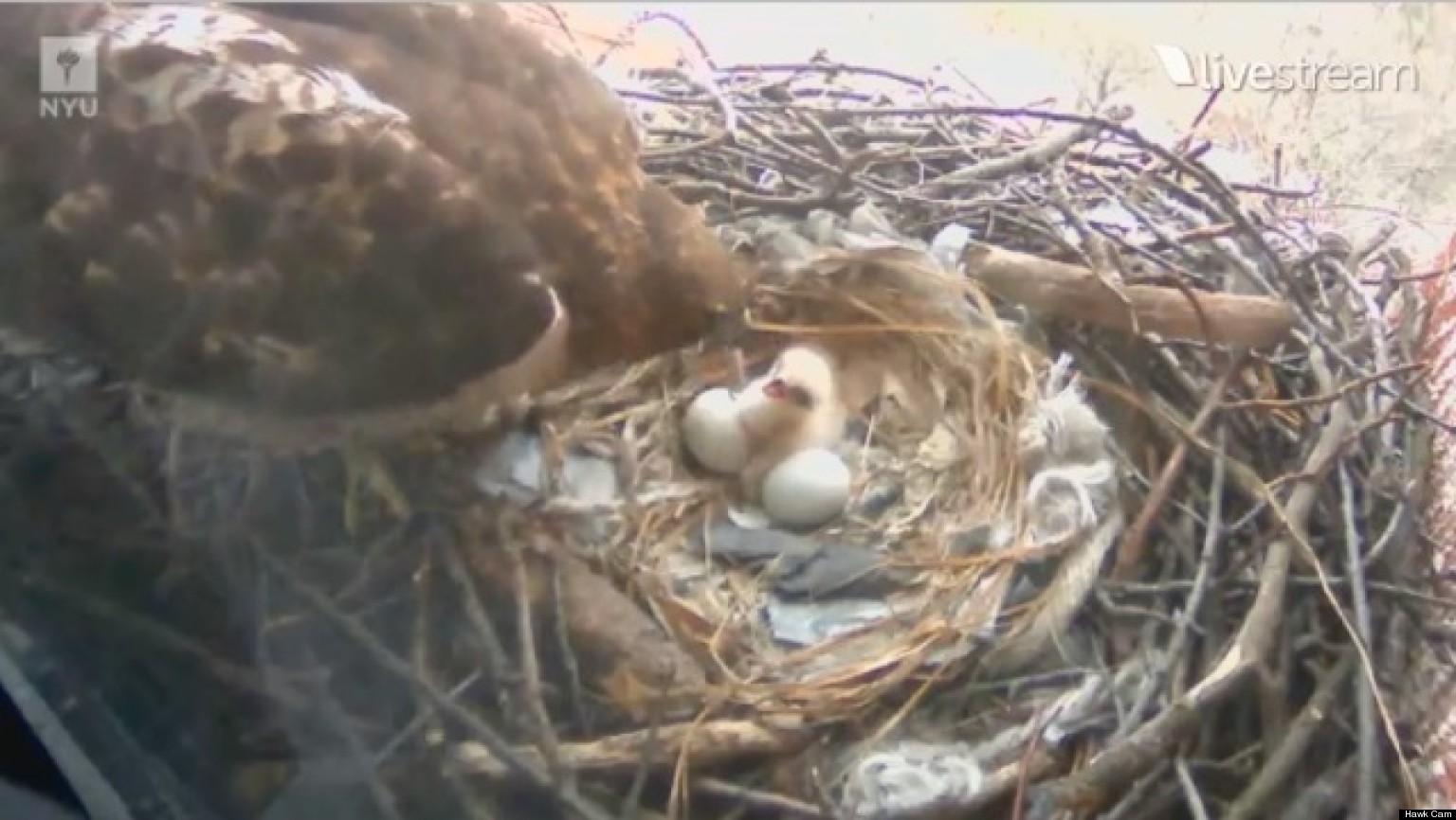 Baby Hawk Hatches At Nyu Hawk Cam Catches Bird Birth