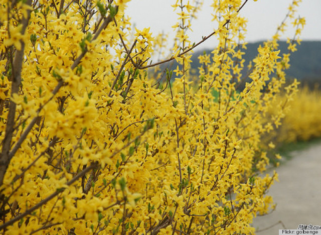 Sprout Home Plant Of The Week Beautiful Forsythia Plants