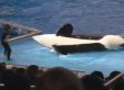 Whale Trainer Fail: Orca's Misbehaving Tail Ruins Big Finish (VIDEO)