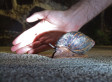 Giant Snails: Great Lakes States Concerned By New Invasive Species, African Land Snails