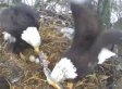 Nesting Bald Eagle Mom Gets A Fish From Her Mate (VIDEO)