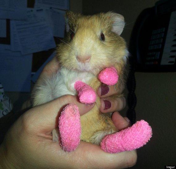 burnt guinea pig