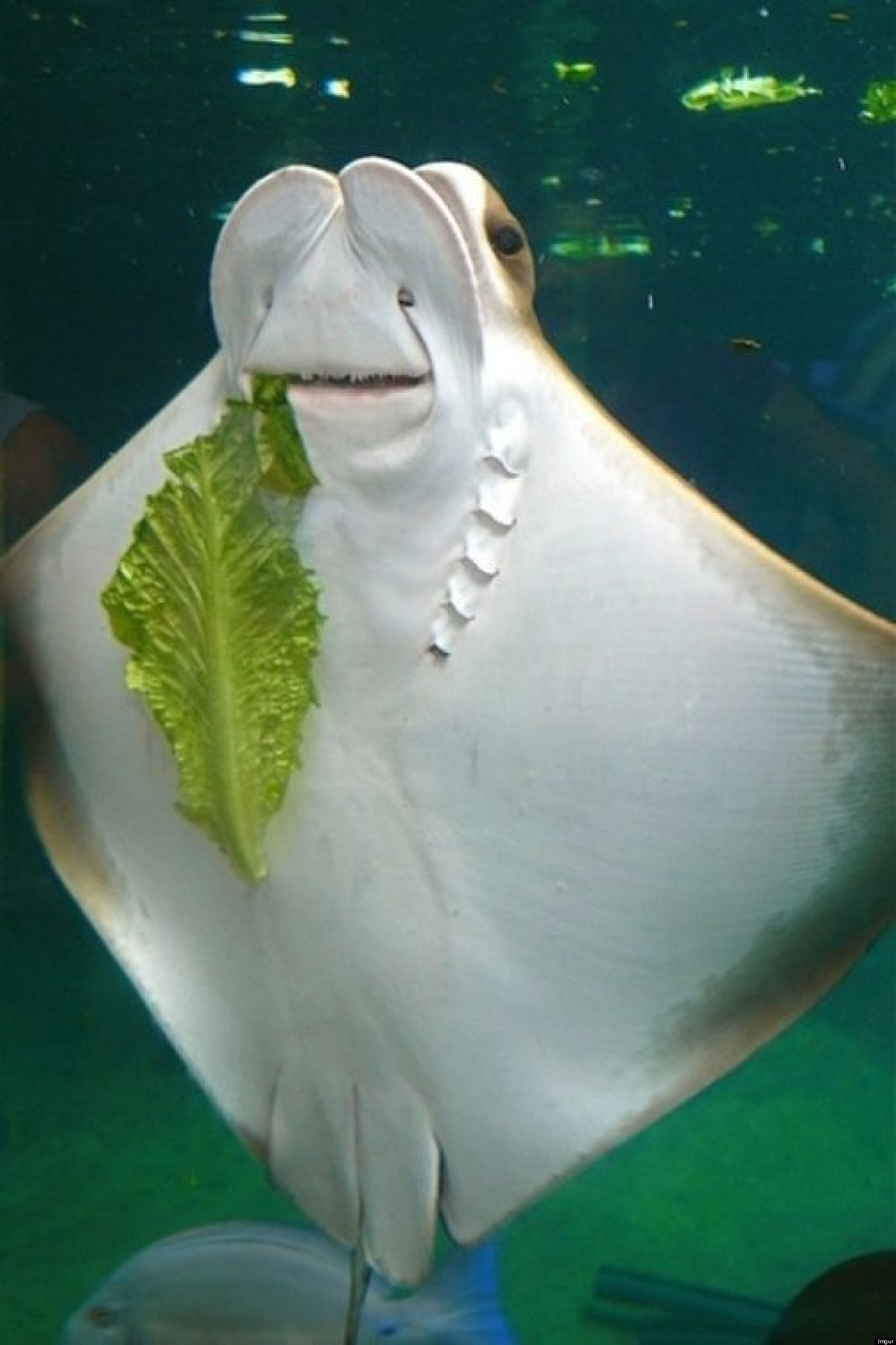 happy stingray eating lettuce may be the best thing you